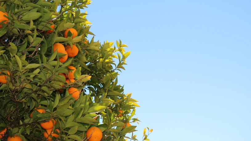 Oranges on an orange tree